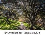 Coastal Live Oak Trees  Quercu...