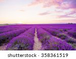 Blossoming Lavender Fields In...