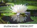 The Beautiful White Lotus...