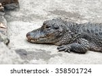 Chinese Alligator Resting On A...