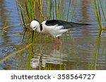 White-headed Stilt (Himantopus leucocephalus)