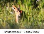 Male Barking Deer  Muntjacs Or...