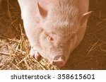 Small photo of Vintage looking Pig (Kingdom Animalia, Phylum Chordata, Class Mammalia Theria Eutheria, Order Artiodactyla, Family Suidae Suinae)
