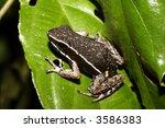 Small photo of spot legged poison frog (Ameerega hahneli)