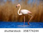 Greater Flamingo ...
