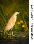 squacco heron fishing in the... | Shutterstock . vector #358946195