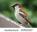Male House Sparrow  Passer...