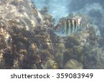 Small photo of Abudefduf septemfasciatus