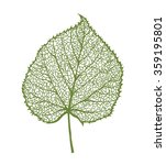 vector linden leaf  isolated on ... | Shutterstock .eps vector #359195801