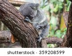 Cute And Cuddly Koala At The...