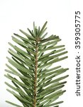 Small photo of Nordmann fir; Abies; nordmanniana