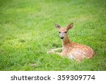 Fawn Resting In A Green Grassy...