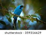 turquoise jay cyanolyca turcosa ... | Shutterstock . vector #359316629