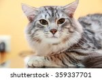 crossbred cat  | Shutterstock . vector #359337701