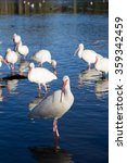Small photo of American white ibis (Eudocimus albus) in blue water, with other members of flock in background