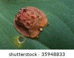 A Red Tortoise Beetle
