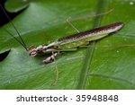 a green mantis on fern leaf   Shutterstock . vector #35948848