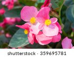 Pretty Coral Pink Flowers Of A...