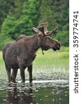 Small photo of Alces Alces: A Moose standing in a lake in Algonquin National Park, Ontario, Canada