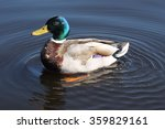 Drake   Male Duck