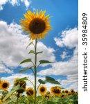 Beautiful Sunflower Field Unde...
