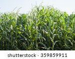 Green Corn Field Growing Up.