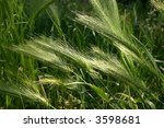 Field With Wheat Plants Close Up