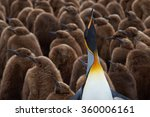 Adult King Penguin  Aptenodyte...