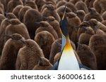 Adult King Penguin  Aptenodyte...