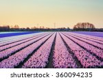 Fields Hyacinths Blooming...
