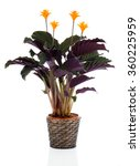 eternal flame flower  calathea... | Shutterstock . vector #360225959