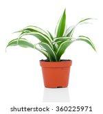 dracaena fragrans  cornstalk... | Shutterstock . vector #360225971