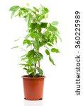 ficus benjamina in flowerpot... | Shutterstock . vector #360225989
