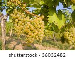 bunch of ripe grapes on... | Shutterstock . vector #36032482