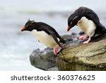 Rockhopper Penguin  Eudyptes...