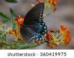 Spicebush Swallowtail  Female ...