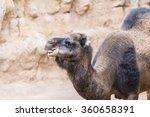 african dromedary | Shutterstock . vector #360658391