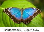 vivid blue morpho  butterfly...   Shutterstock . vector #360745667