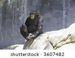 Female Chimpanzee Sitting On A...