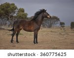 Small photo of Brumby