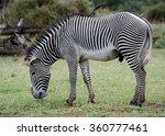 Grevy's Zebra Grazing Samburu...