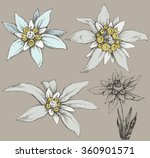 edelweiss flower collection | Shutterstock .eps vector #360901571