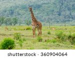 Small photo of Wildlife Giraffe in safari in Africa, Kenya, Naivasha National Park