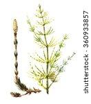 equisetum sylvaticum  horsetail ... | Shutterstock . vector #360933857