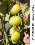 Fresh Yellow Tomatoes On The...