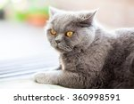close up british cat with... | Shutterstock . vector #360998591
