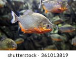 Tropical Piranha Fishes  In A...