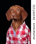 Vizsla Puppy In A Red Plaid...