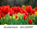 beautiful tulips in garden | Shutterstock . vector #361106987
