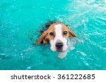 Little Puppy Beagle Dog...